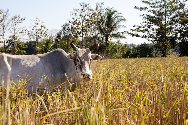 Cow from thailand