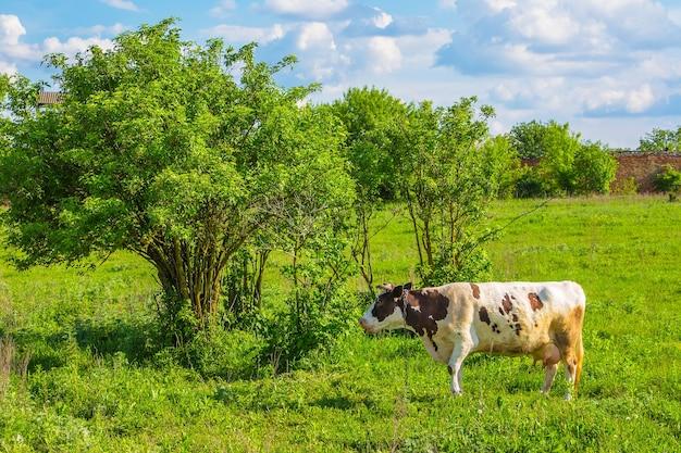 晴れた夏の緑の牧草地で牛がかすめる
