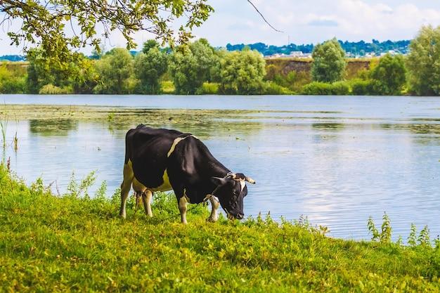 晴天時に牛が川岸をかすめる