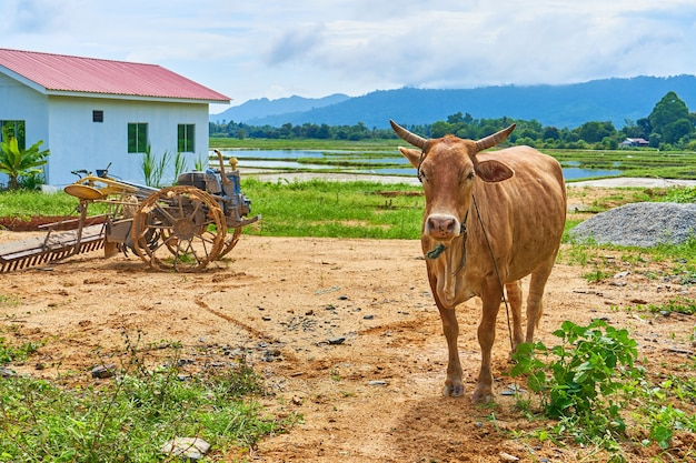 A cow grazes on a small private roadside farm in an asian village on a tropical island.