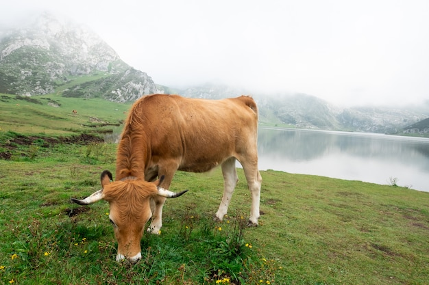 Cow grazing in asturian meadow in front of a lake