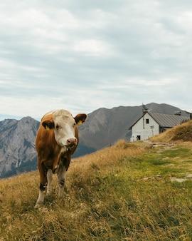 Mucca al pascolo in un campo circondato da montagne sotto un cielo nuvoloso in austria