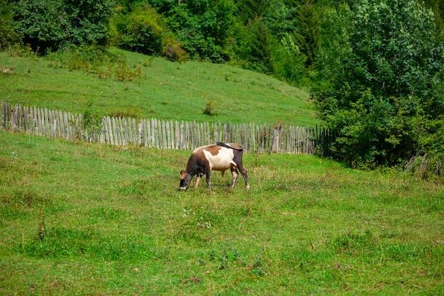 목장에서 신선한 녹색 잔디를 방목하는 암소. 동물.