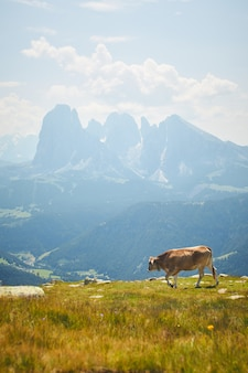 Cow grazing on a green pasture surrounded by tall rocky mountains