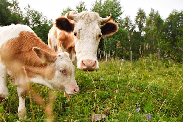 緑の牧草地に放牧牛。大きな角のある家畜が草を食べます。動物をクローズアップ。