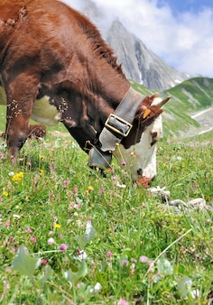 Cow grazing in pasture