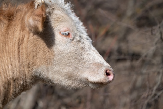 Cow head close up portrait
