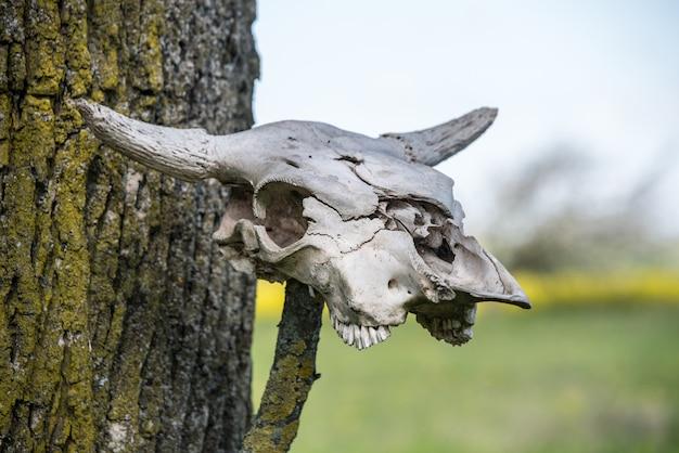 Скелет головы коровы. скелет головы рогатой коровы висит на дереве.