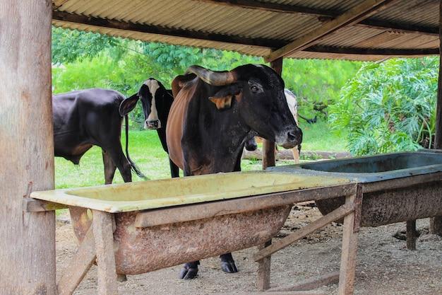 Стадо коров молока ест на заточении в сельской ферме. коровы разных пород интенсивно разводятся и едят сено в коровнике.