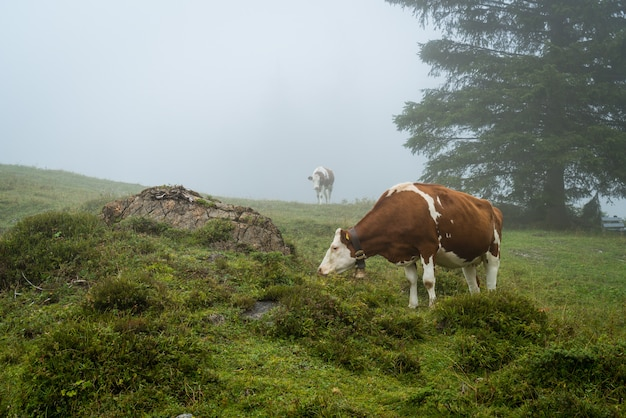 Cow on hill