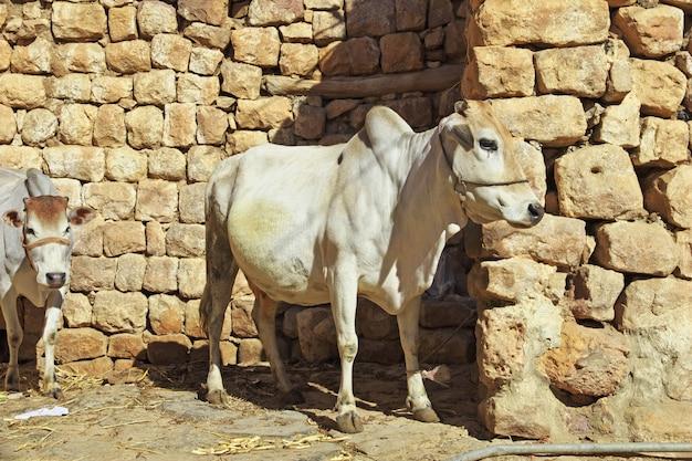イエメンの山のアルマーウィット村で牛します。