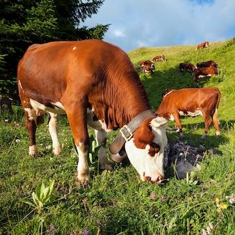日光の下でフランスアルプスの風景の中の牛