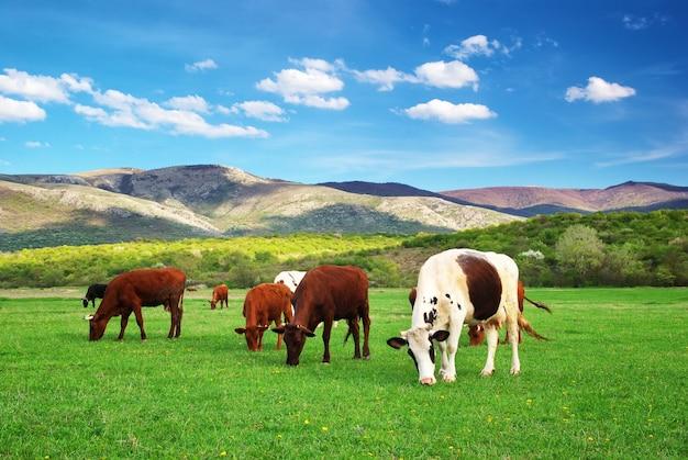 日中の緑の山の牧草地の牛