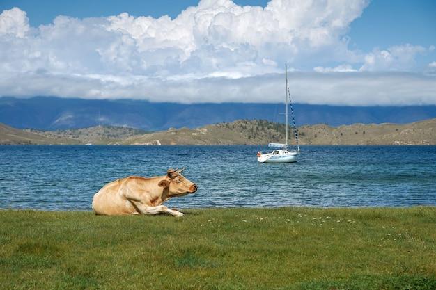 ヨットを背景に牧草地の牛