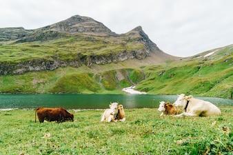 Корова в Швейцарии, Альпы, гора Гриндельвальд Первая