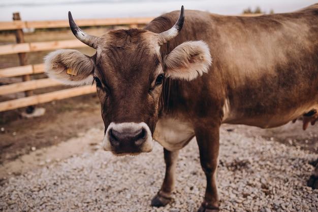농장 자연에서 암소
