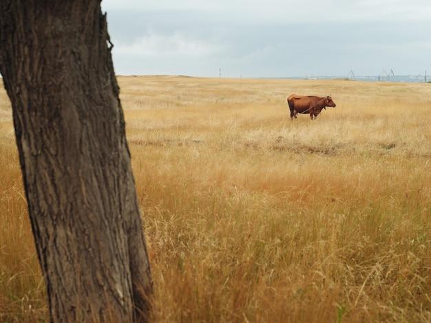 Корова в поле природа млекопитающее пейзаж сельское хозяйство