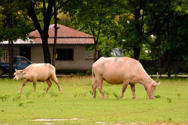 Корова в поле