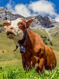 Корова во французских альпах возле монблана
