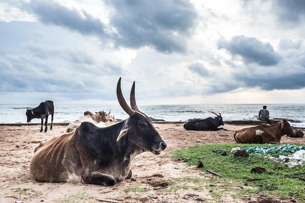 Корова индия животное