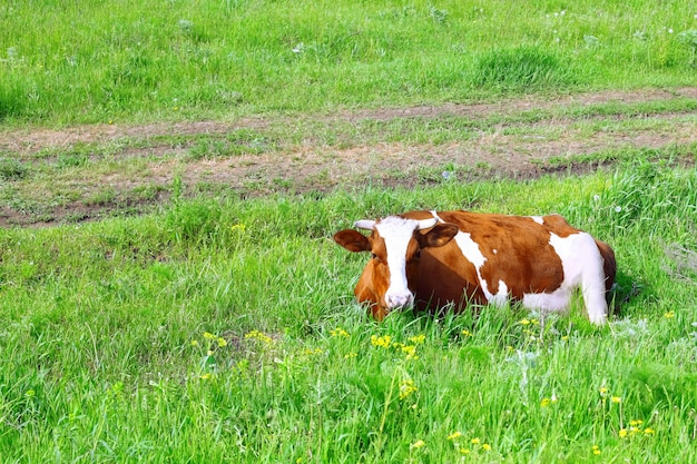 Cow lie on the  meadow.