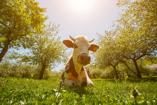 The cow lies on a green meadow in an apple garden, sunny day