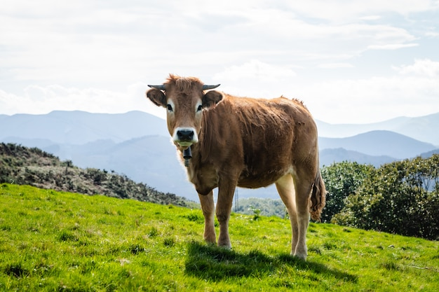 Cow living in freedom in the mountains. look to camera