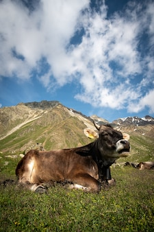 Cow on a meadow in alpine environment on a mou