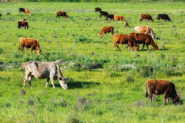 Корова на зеленом лугу Premium Фотографии