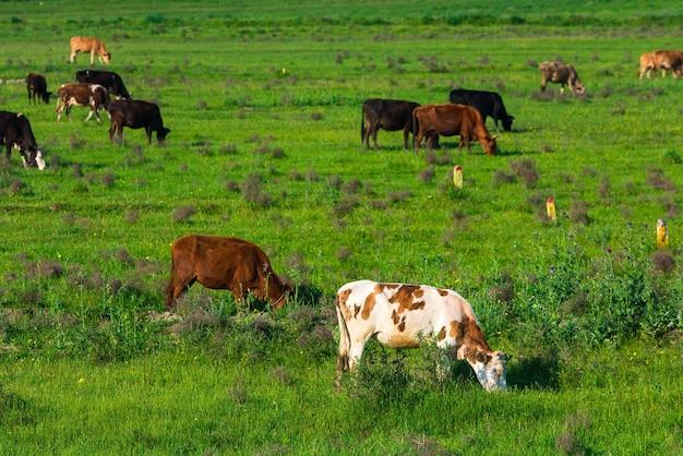 緑の牧草地の牛