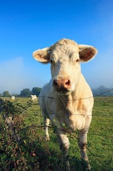 朝の夏の牧草地の牛