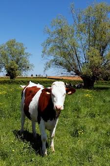 夏の緑の草や木に牛