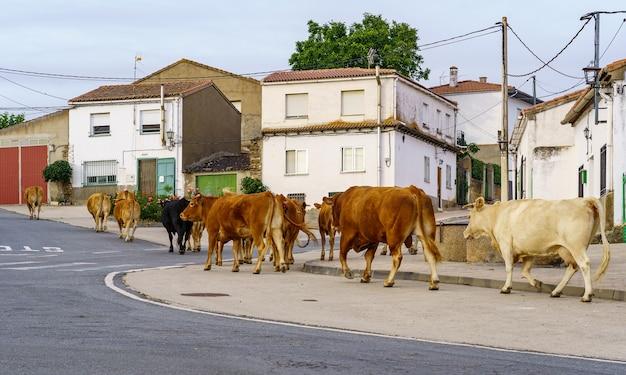 Корова проезжает по улицам старого города.