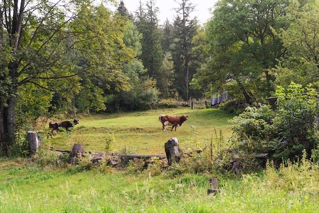 Коровье пастбище среди леса. производство натурального молока. экологически чистое место.