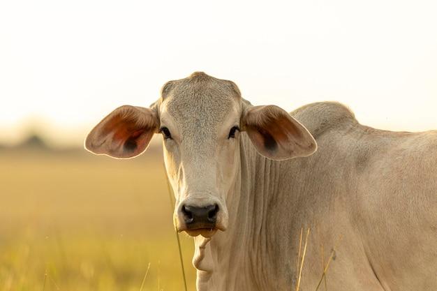 Портрет коровы на пастбище на закате.