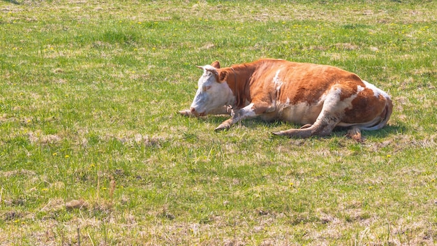 Корова отдыхает на весеннем или летнем лугу с зеленой травой.