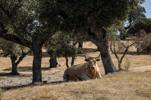 목장에서 쉬고 있는 소