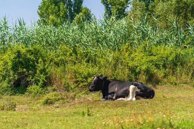 緑の芝生で休んでいる牛
