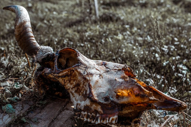 Cow skull on the ground