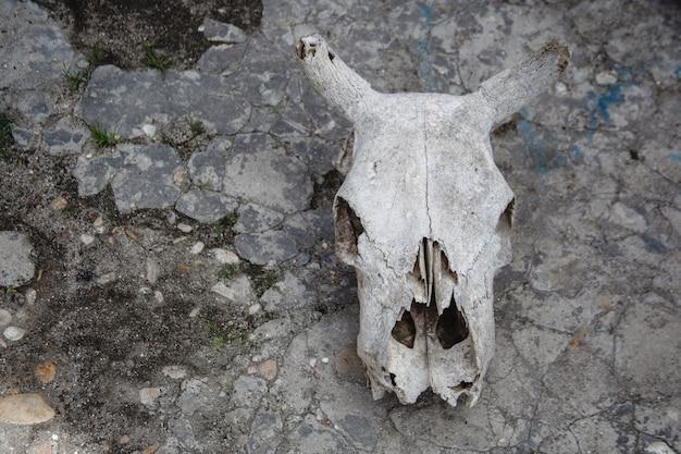 Череп коровы на потрескавшейся каменной земле. кости животных.