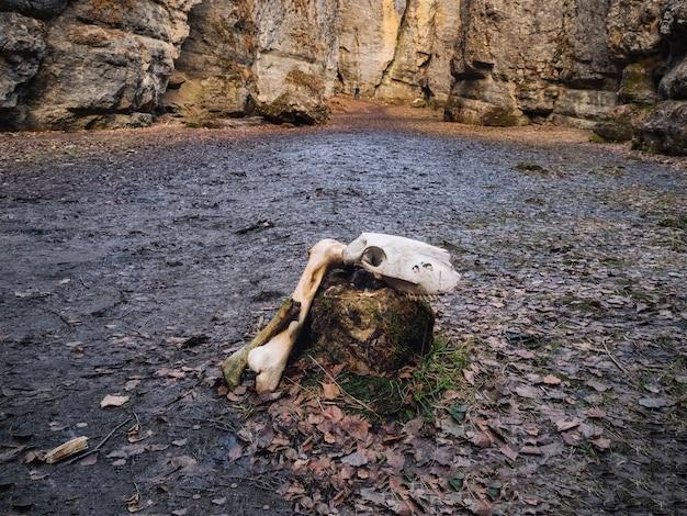 洞窟の入り口の地面にある牛の頭蓋骨。気分が悪い、パスコンセプトの選択。