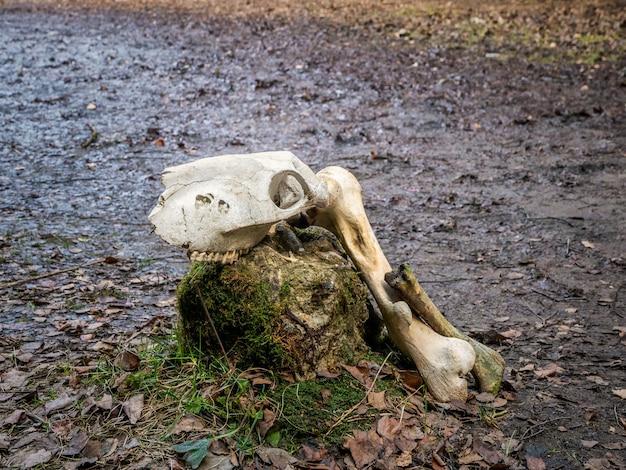 地面に牛の頭蓋骨。閉じる。