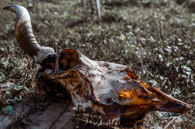 地面に牛の頭蓋骨