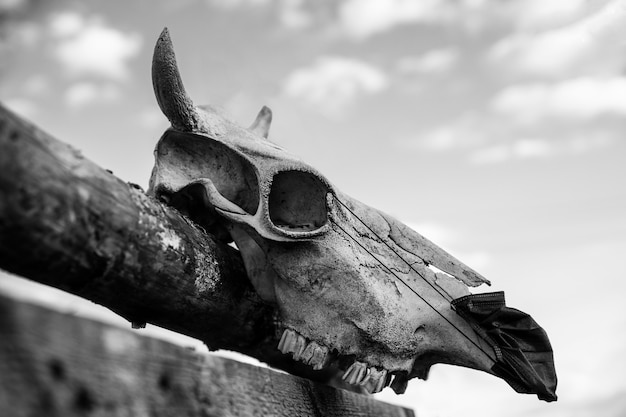 Cow skull with protective mask hanging on the fence