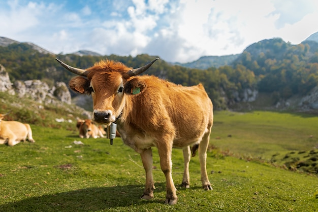 Cow standing on a green meadow in a mountainous landscape