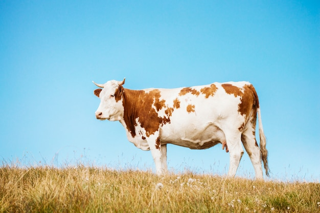 Cow standing on a pasture and blue clear sky