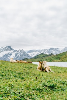 Cow in switzerland alps mountain grindelwald first