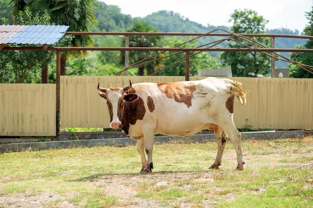Корова гуляет в деревне