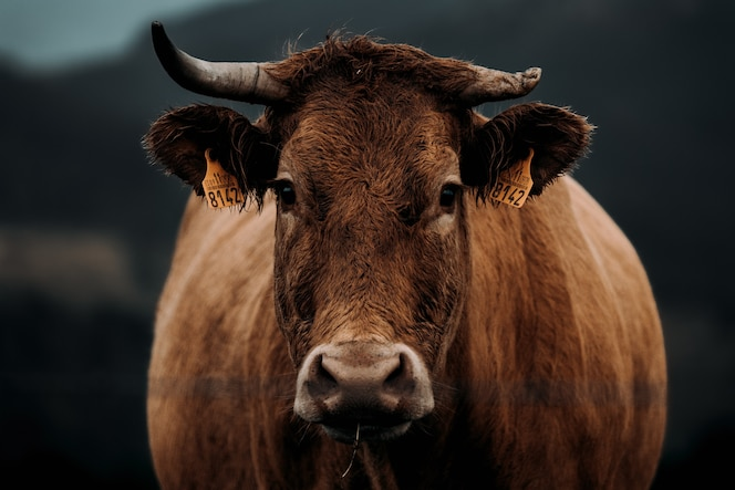 Cow with a broken horn