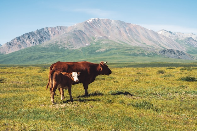 Cow with calf graze in grassland in valley against wonderful giant mountains in sunny day.